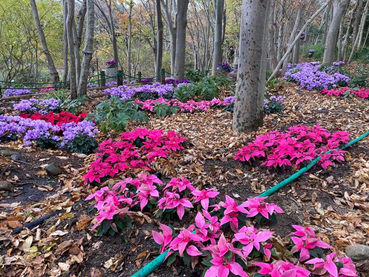 浜名湖ガーデンパーク(静岡)で青いシクラメン「セレナーディア」と可愛いピンクの「プリンセチア」が見頃です。