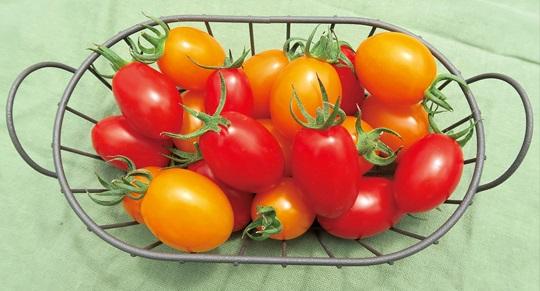 これからの定植に!「サントリー本気野菜 夏植えトマト 夏あま」が販売スタートします。