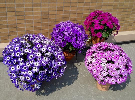 冬に鮮やかな花色「セネッティ 花苗」が販売スタートしました!