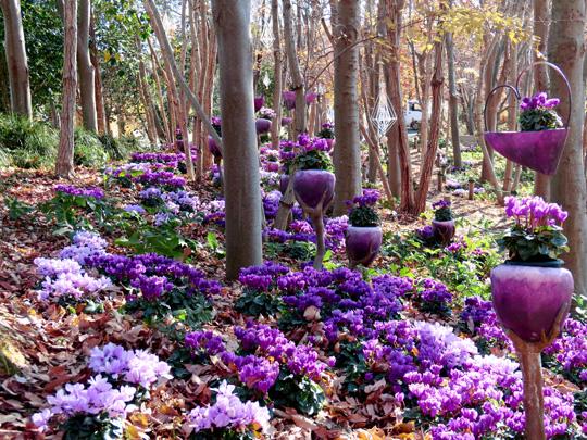 青いシクラメン「セレナーディア」が浜名湖ガーデンパーク(静岡)にて咲き誇っています。