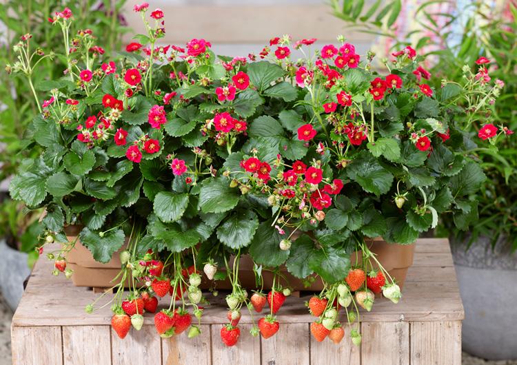 2品種が新登場!野菜苗「本気野菜イチゴ」各種が販売スタートしました!