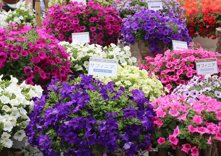 春の花苗 サフィニアシリーズ各種、ブリエッタ、アズーロコンパクトが販売スタートしました。
