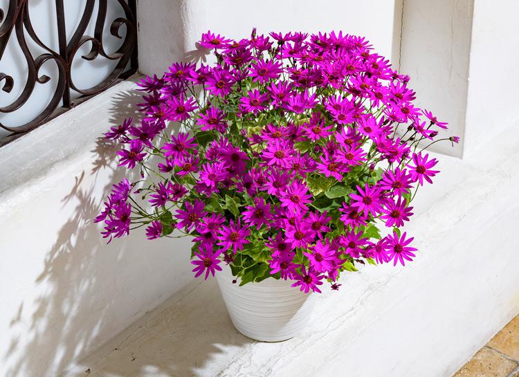 豪華な花姿に♪ 秋冬の花苗「セネッティ」が販売スタートしました!