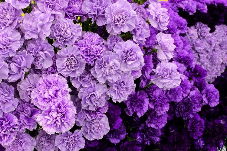 花言葉は「永遠の幸福」青いカーネーションムーンダスト