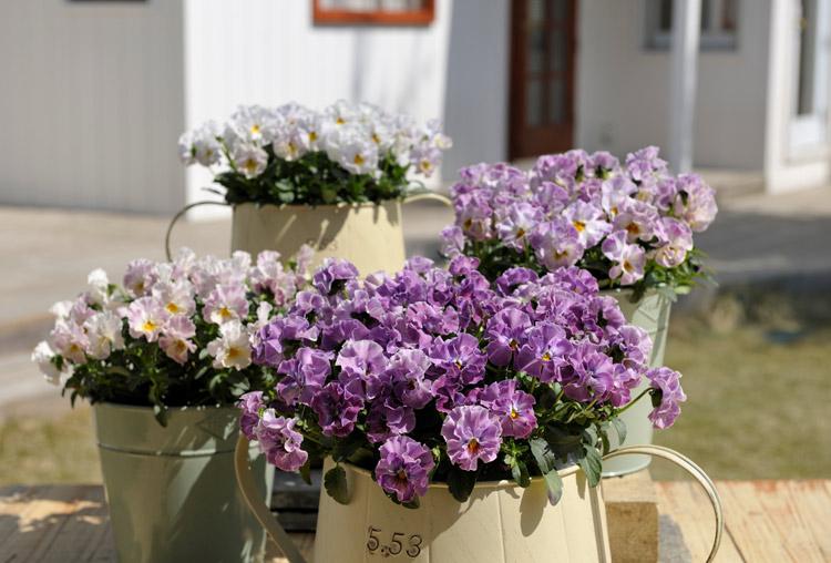 お得な栽培セット販売も♪秋のビオラ「ミルフル」の記事をLOVEGREEN(ラブグリーン)にて掲載しています。