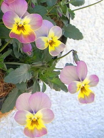 花ざかりビオラ