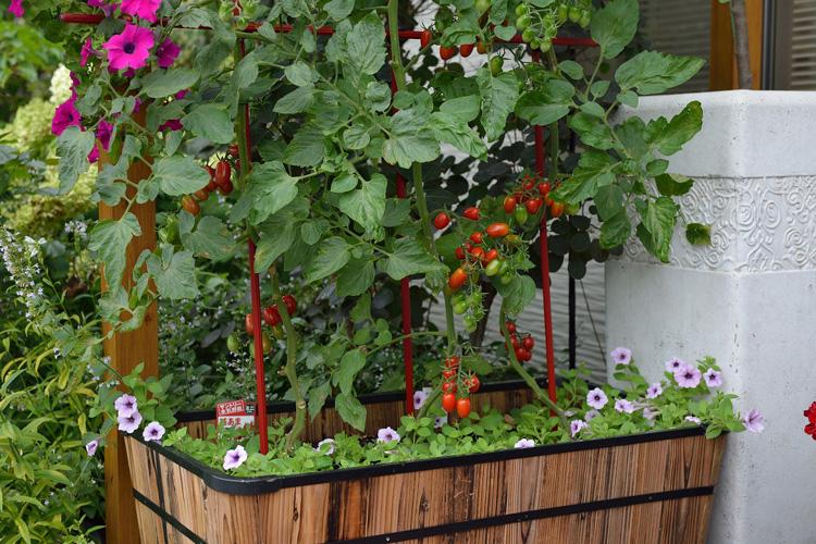 サフィニアと本気野菜で楽しむポタジェ・ガーデンスタイル♪